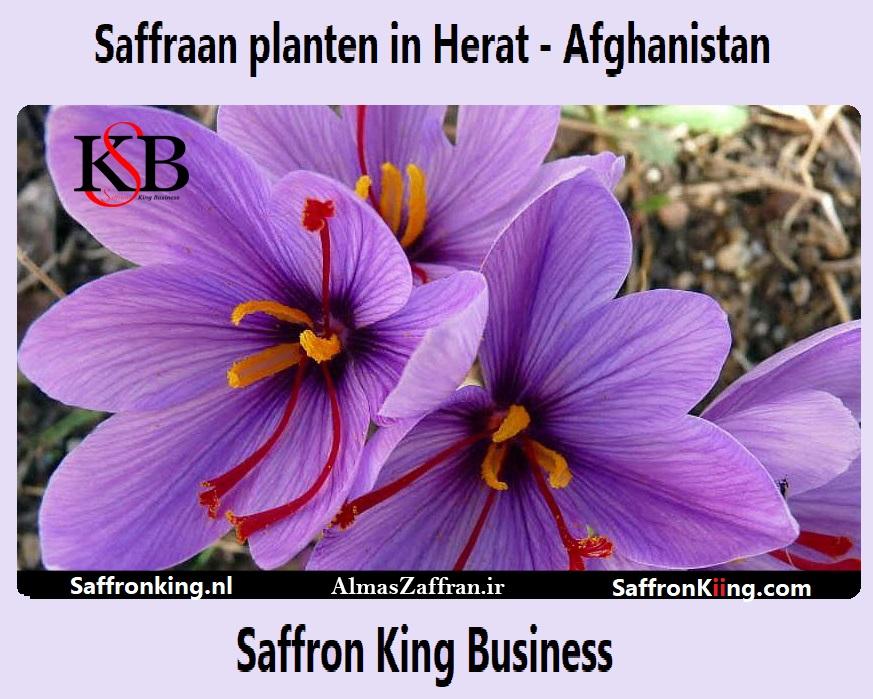 Saffraan planten in Herat - Afghanistan